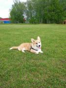Corgi male with pedigree looking for a mate, Chekhov