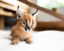 Exotic Bengal, Ocelot, Caracal Kittens Available