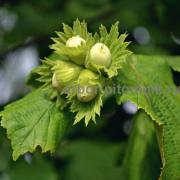 Hazelnut seedlings from Arbor plant nursery