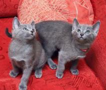 Продам котят русской голубой кошки