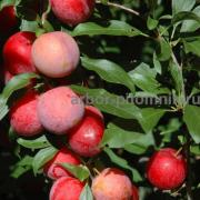 Saplings and large-sized cherry plums from the nursery with a guarantee