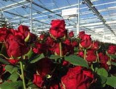 Working in the greenhouse caring for the roses to Moscow